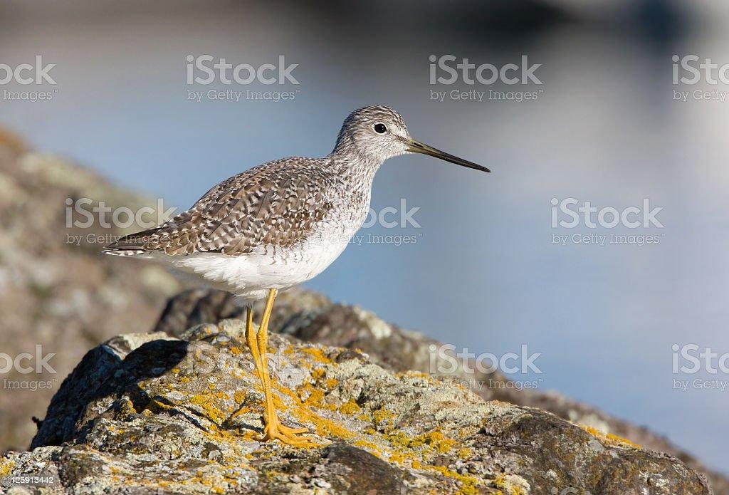 Greater Yellowleg - shorebird stock photo