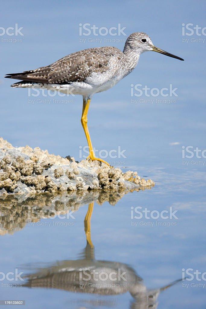 Greater Yellowleg- shorebird stock photo