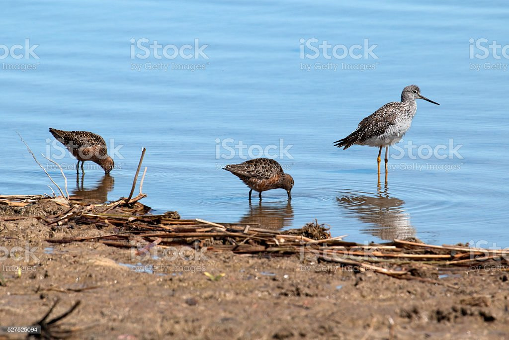 Greater yellowlegs and dowitcher sandpipers feed Littleton Colorado lake stock photo