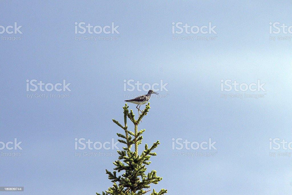 Greater Yellowlegs bird stock photo