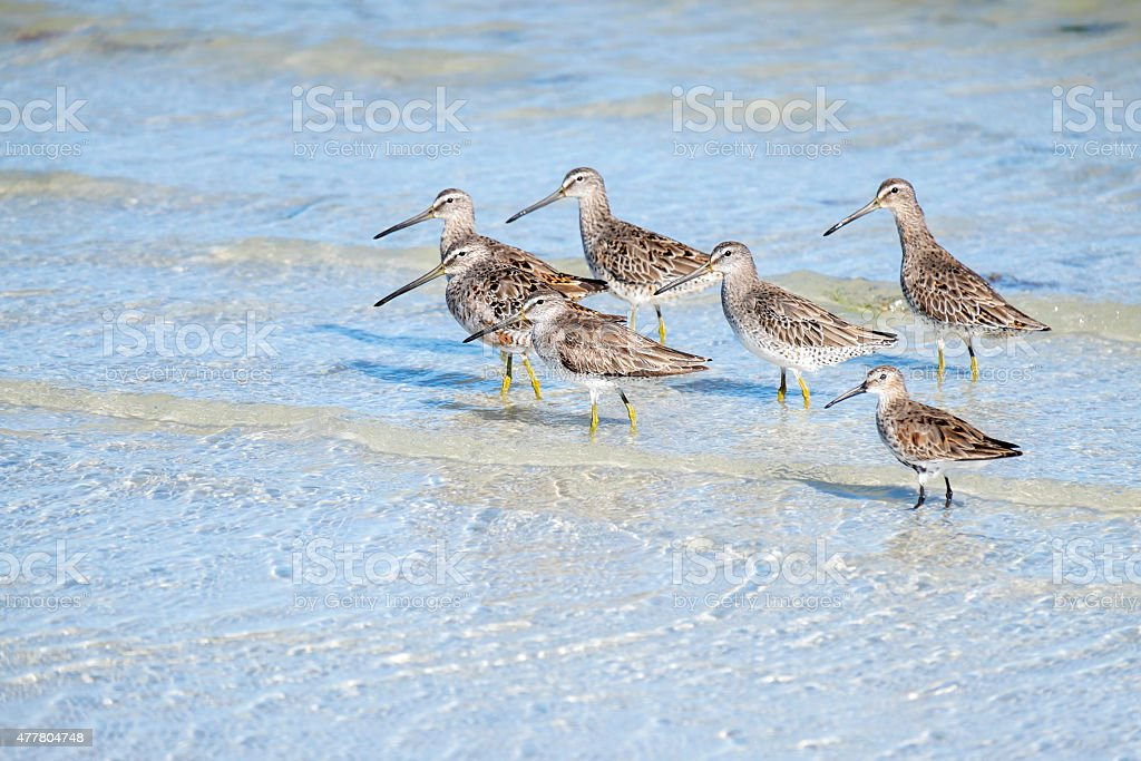 Greater Yellowlegs Birds on the Beach stock photo