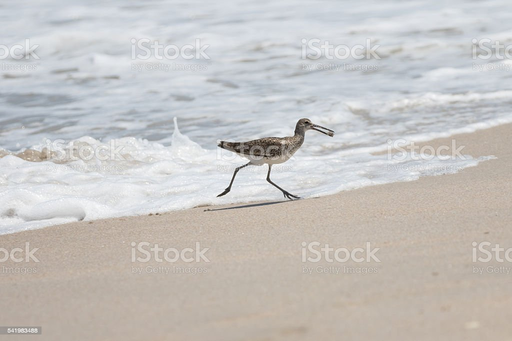 Greater Yellowlegs Gets a Sea Snail, Playalinda Beach, Merritt I stock photo