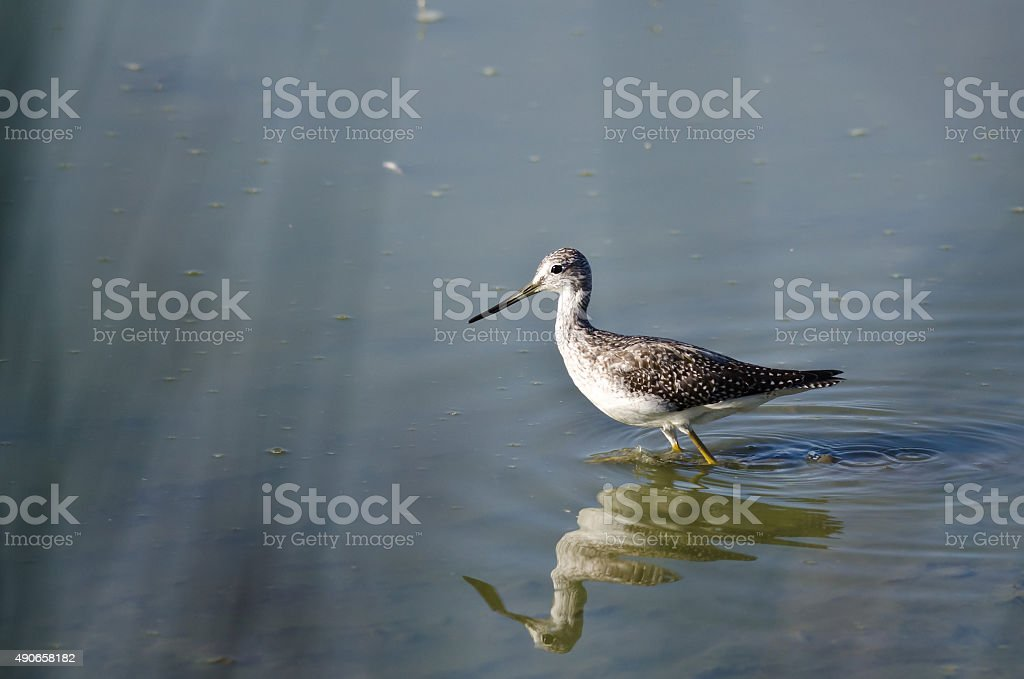 Greater Yellowlegs Hunting in the Shallow Water stock photo