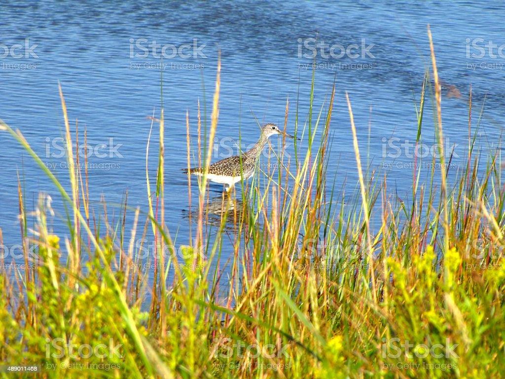 Greater Yellowlegs in Marsh Grass stock photo