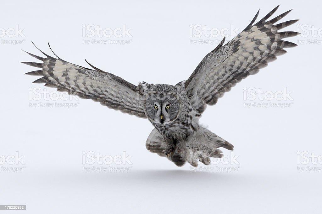 Great-grey owl, Strix nebulosa stock photo