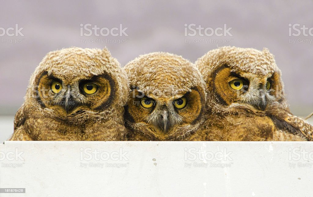 Great-horned Owl Babies in Nest Box royalty-free stock photo