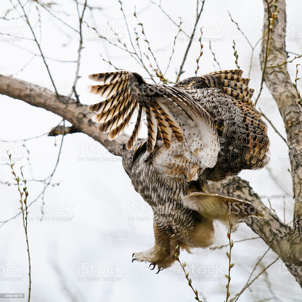Great-Horned Owl (Bubo virginianus) stock photo
