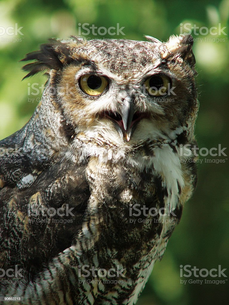 Great-Horned Owl royalty-free stock photo