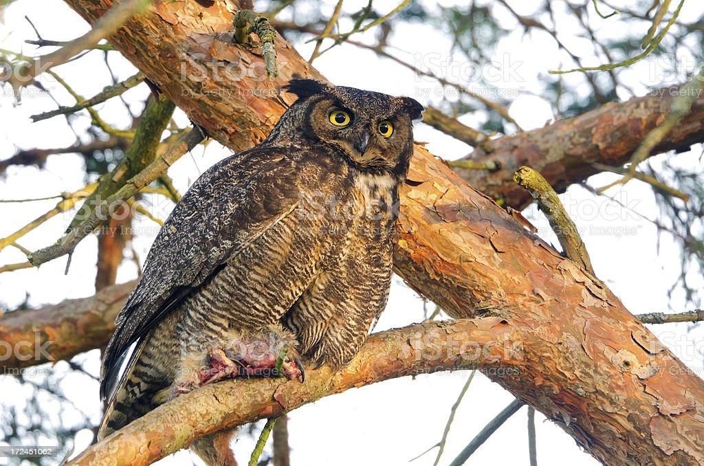 Great-horned Owl - Victoria stock photo