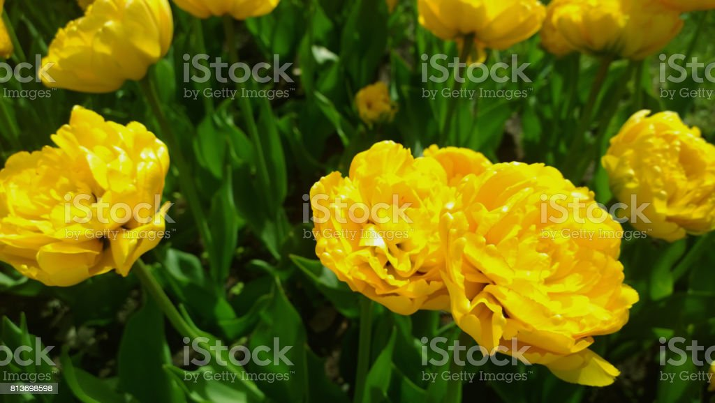 Greatly expanded head of yellow tulips stock photo