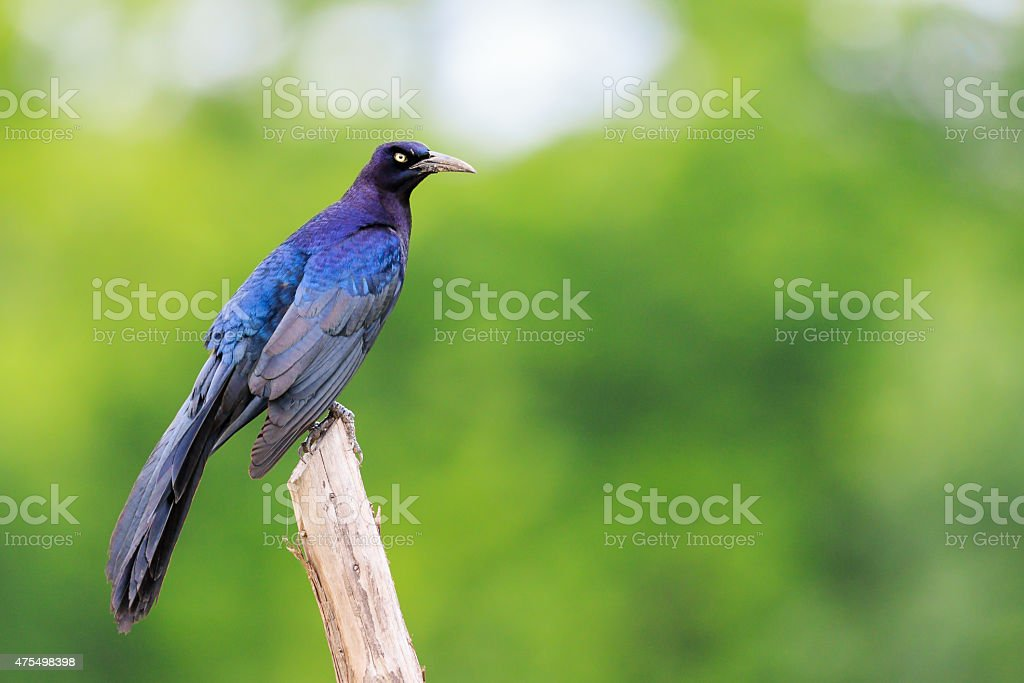 Great-tailed Grackle stock photo