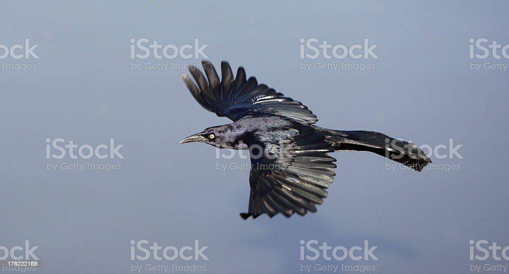 Great-tailed grackle, Quiscalus mexicanus stock photo