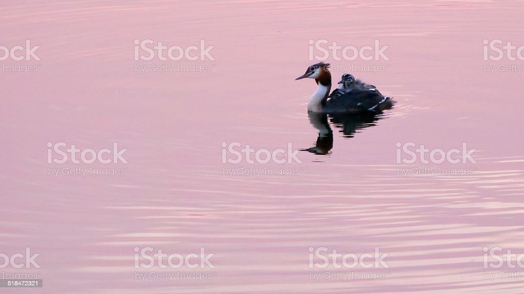 Grebe with chicks on his back in the water royalty-free stock photo