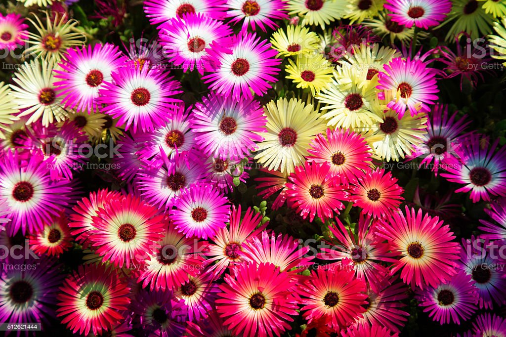Grecian windflowers anemones flower bed from above stock photo