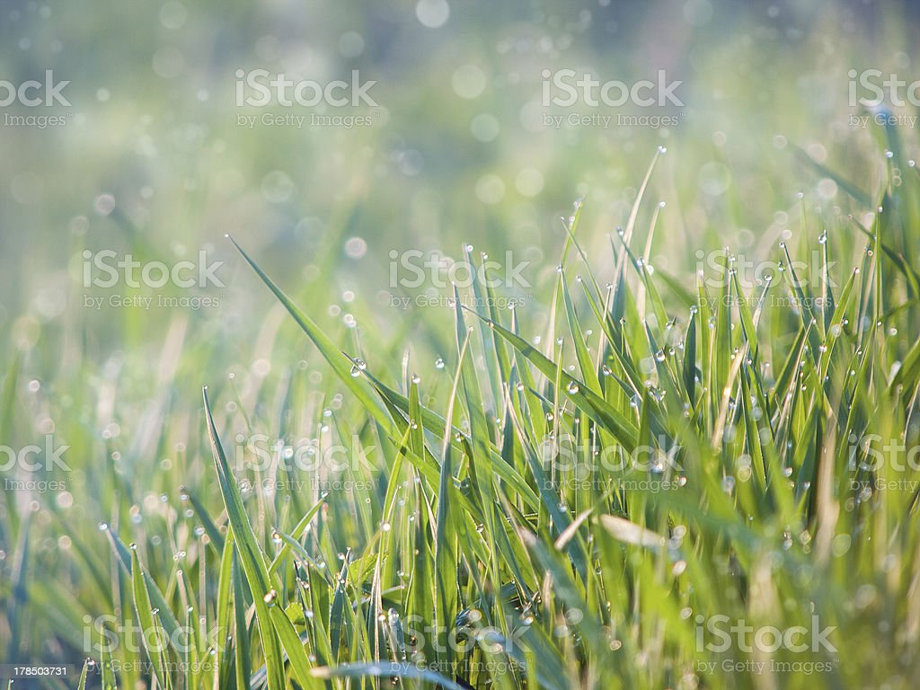 Greed grass in a dew royalty-free stock photo