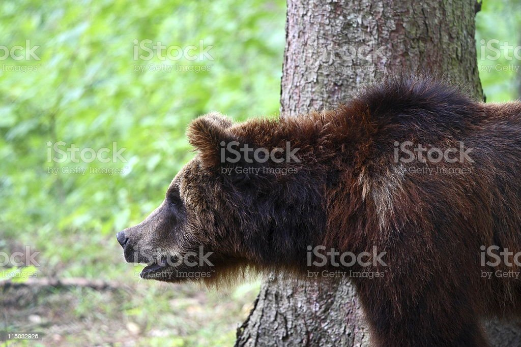 greedy looking European brown bear in the wild (series) royalty-free stock photo