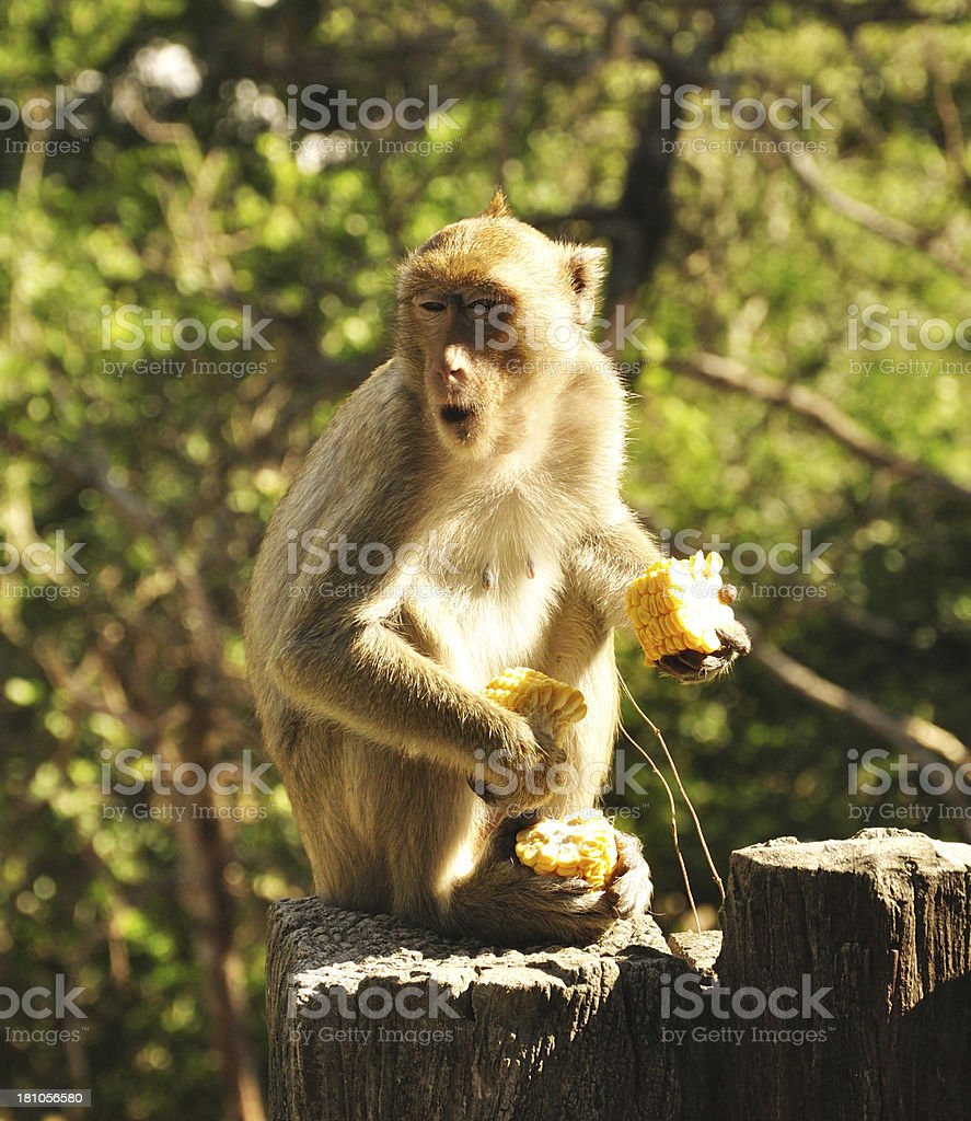 Greedy Monkey royalty-free stock photo