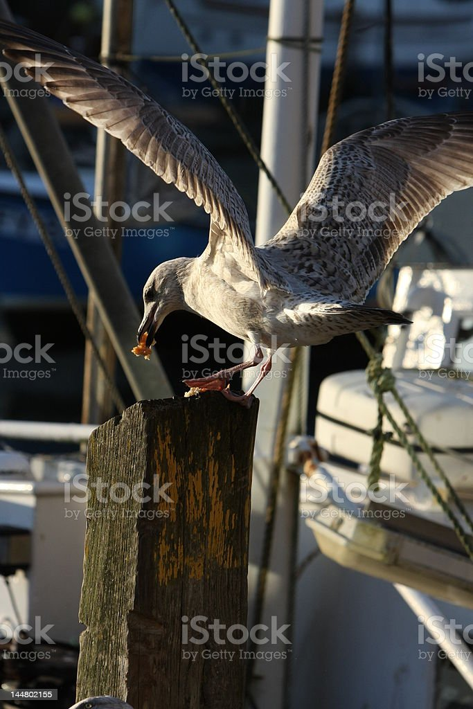 Greedy Seagull royalty-free stock photo
