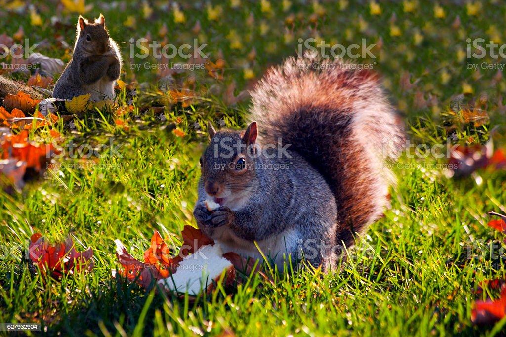 Greedy Squirrel stock photo