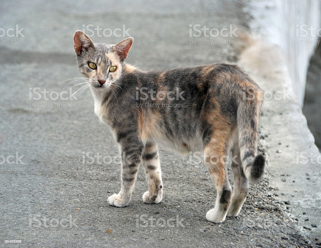 greek cat royalty-free stock photo