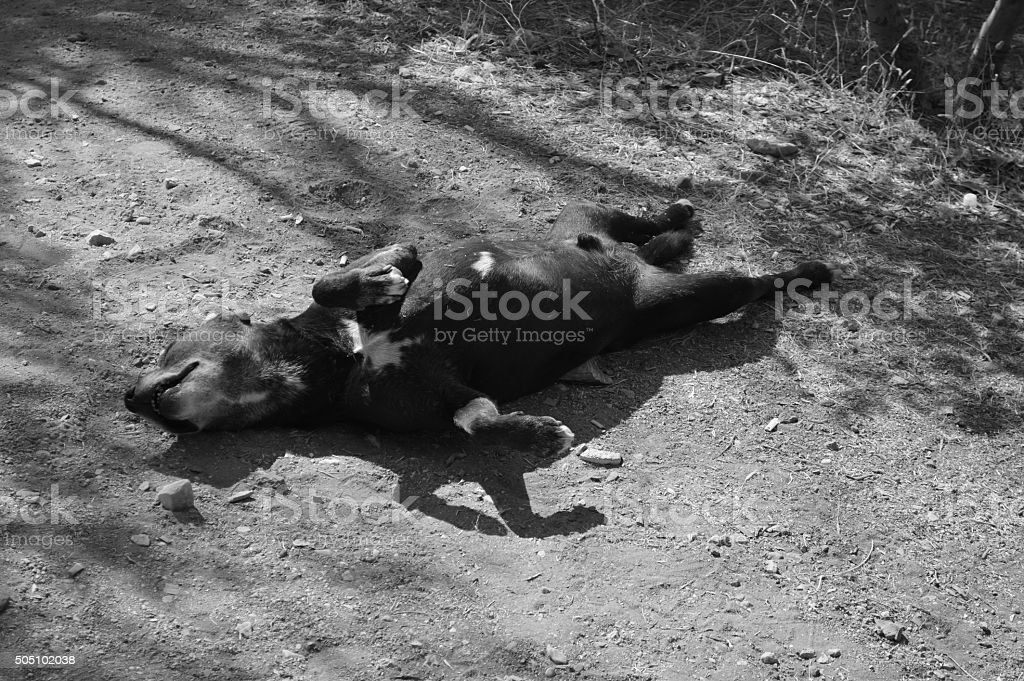 Greek dog playing dead on dirty ground stock photo