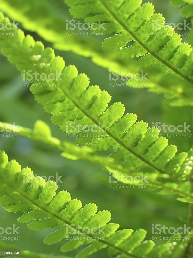 Green abstract - new fern leaves royalty-free stock photo