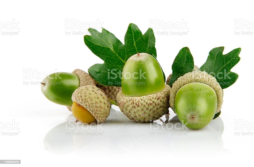 green acorn fruits with leaves royalty-free stock photo