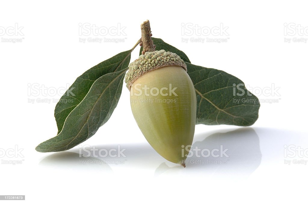 Green Acorn stock photo