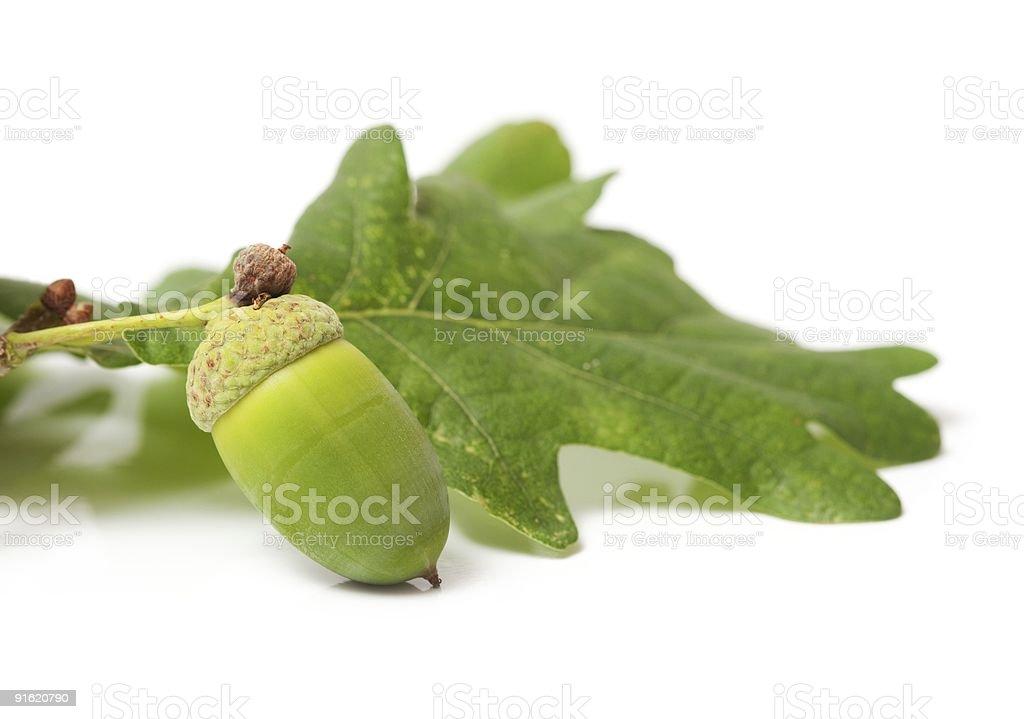 Green acorn royalty-free stock photo