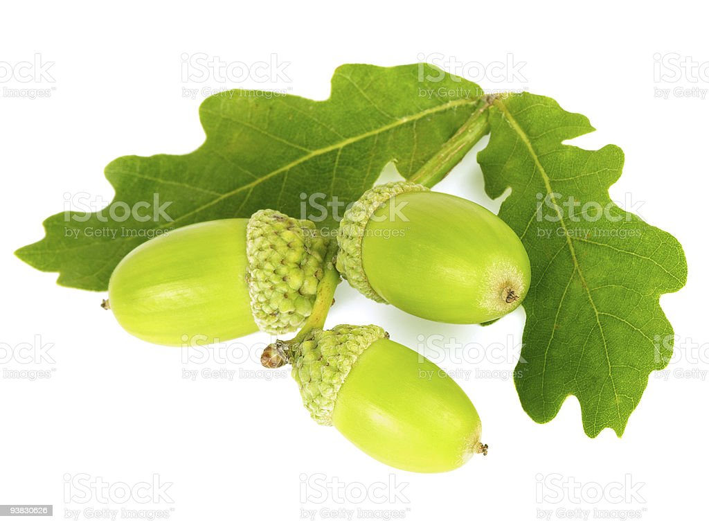 Green acorns with leaves. stock photo