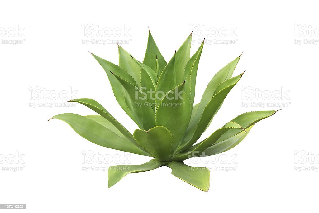 A green agave plant on a white background stock photo