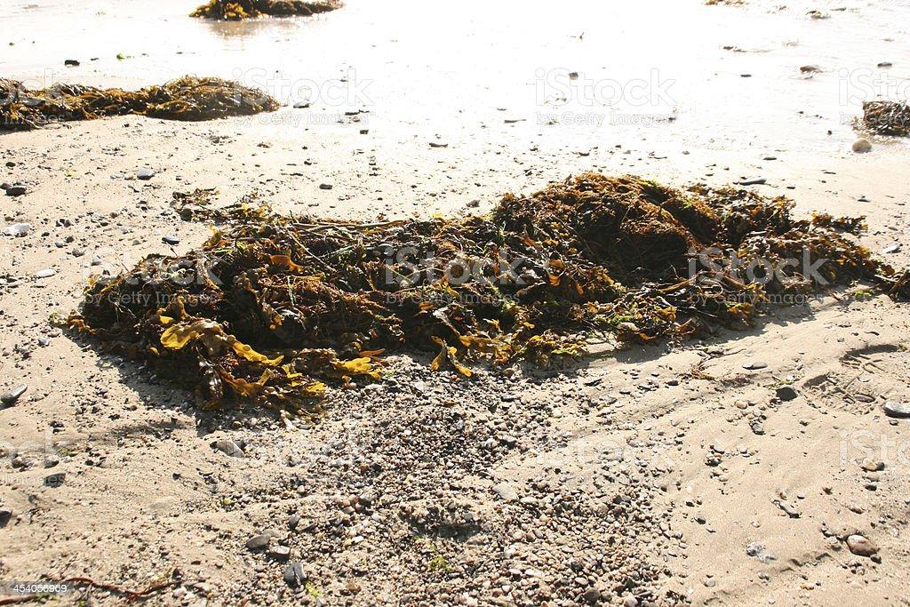 Green alga on a french coast, cotentin, normandy royalty-free stock photo