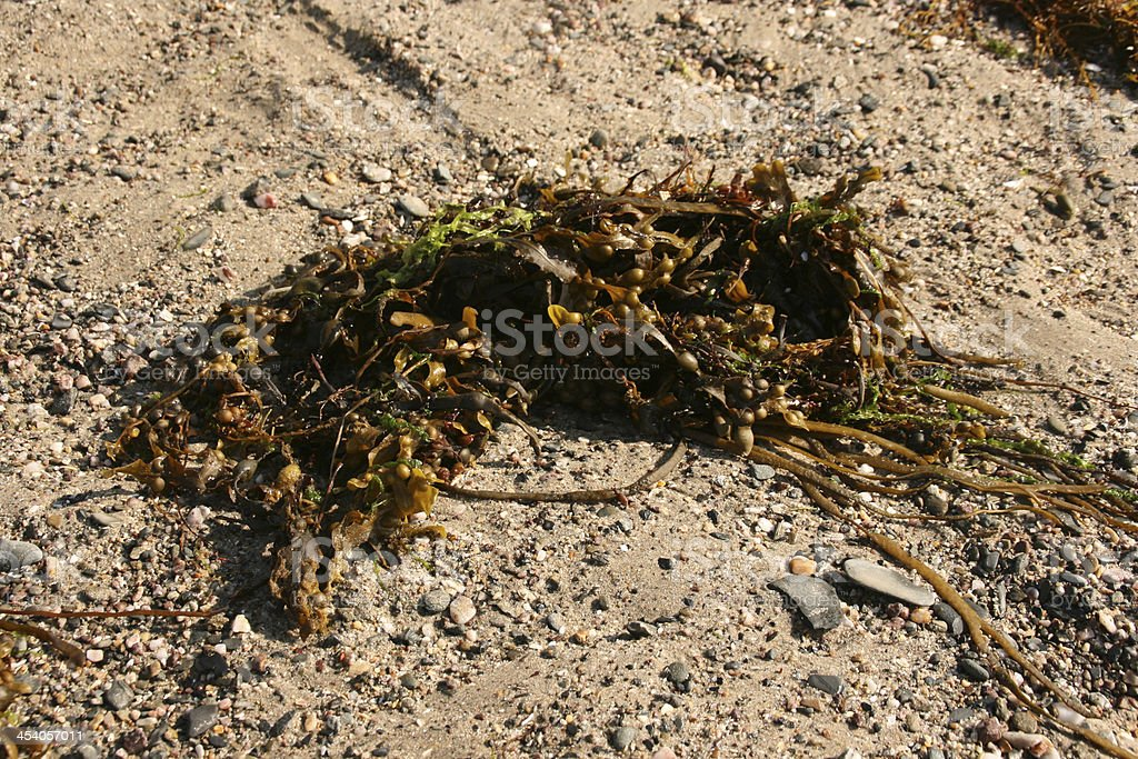 Green alga on a french coast, cotentin, normandy royalty-free stock photo