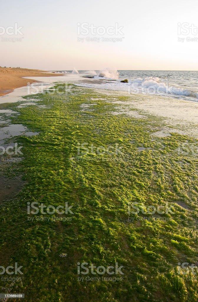 Green algae along a coral beach stock photo