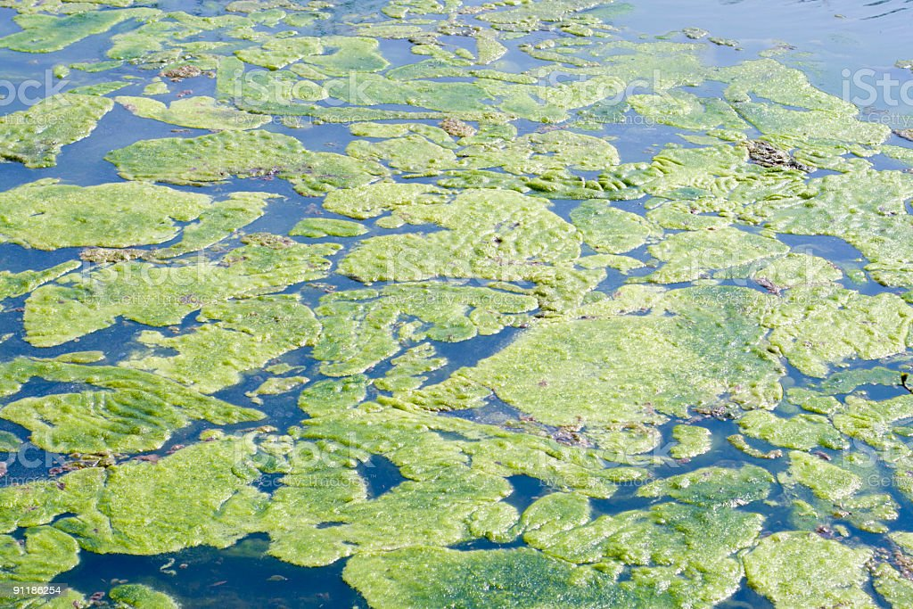 Green algae floating in a pond royalty-free stock photo
