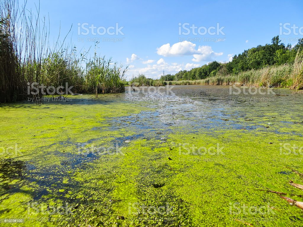 Green algae on a surface of the lake stock photo
