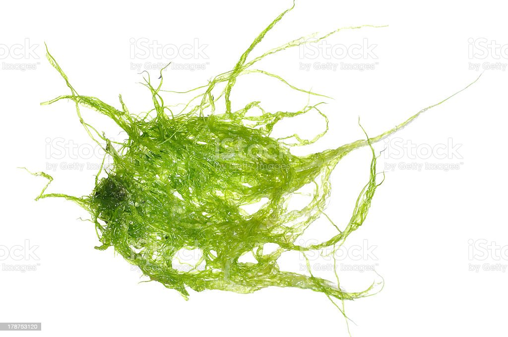 Green algae stock photo