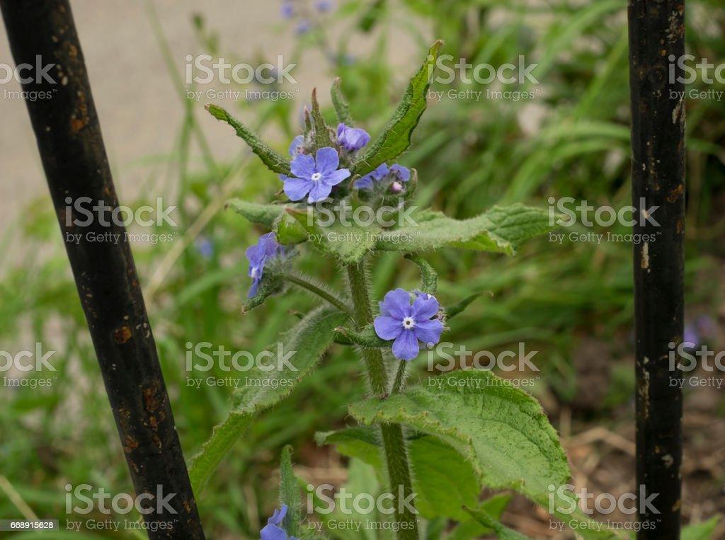 Green Alkanet, blue weed flower stock photo