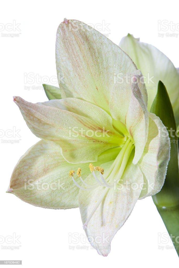 "Green amaryllis ""Limona"" (Hippeastrum) stock photo"
