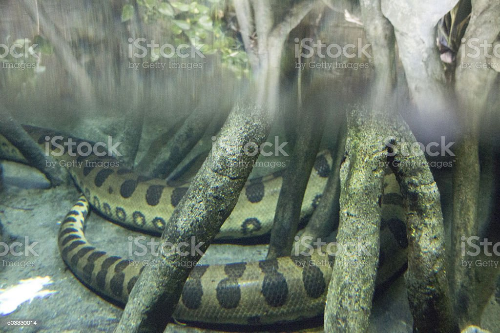 Green Anaconda stock photo