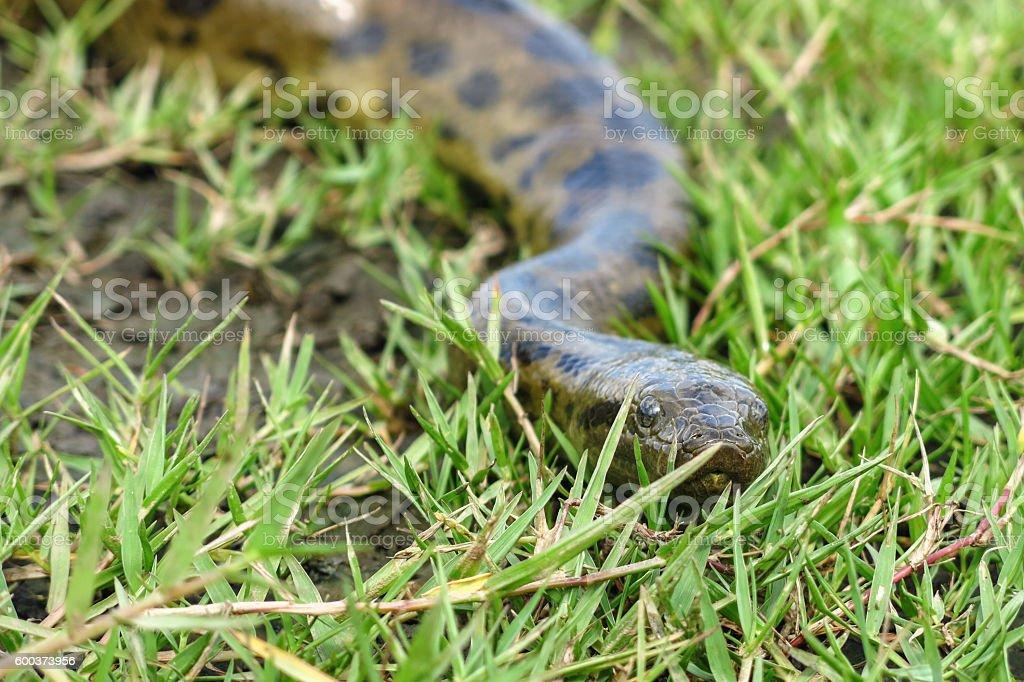 Green anaconda (Eunectes murinus) stock photo