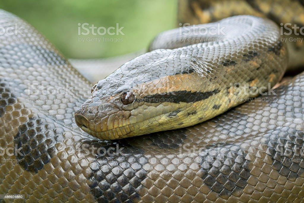 Green Anaconda Snake - Profile stock photo