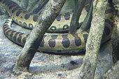 Green Anaconda underwater