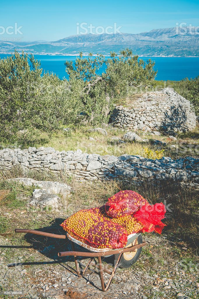 Green and Black Olives in Wheelbarrow, Brac Island, Croatia, Europe stock photo