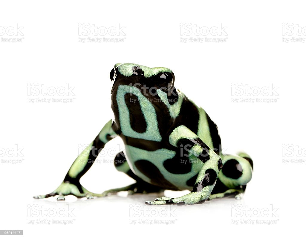 A green and black poison dart frog against white background stock photo