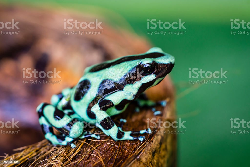 Green and black poison dart Frog, Costa Rica, dendrobates auratus stock photo