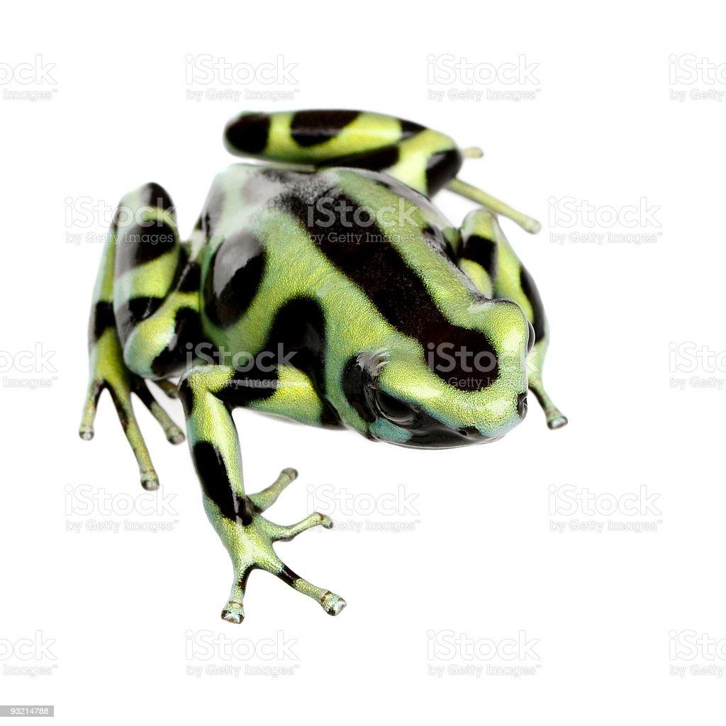 green and Black Poison Dart Frog - Dendrobates auratus stock photo