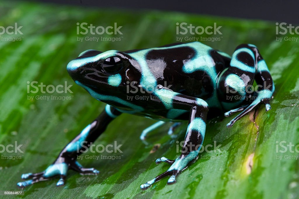 Green and black poison frog / Dendrobates auratus stock photo