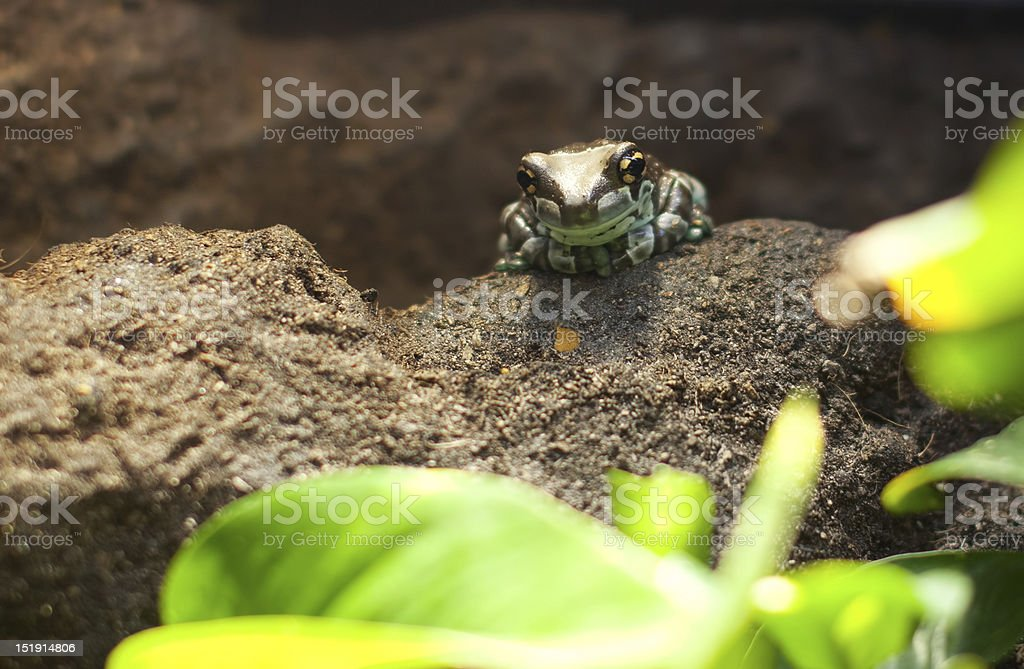 green and black posion dart frog stock photo
