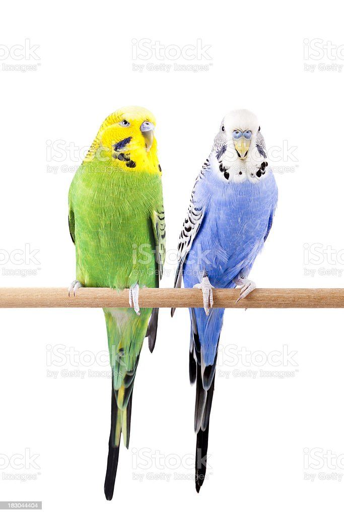 Green and Blue Budgie stock photo
